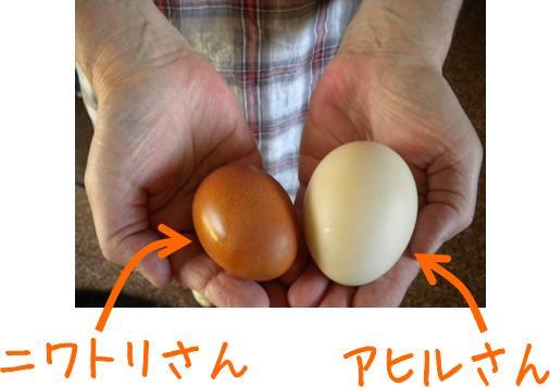 ahiru_niwatorihikaku.jpg