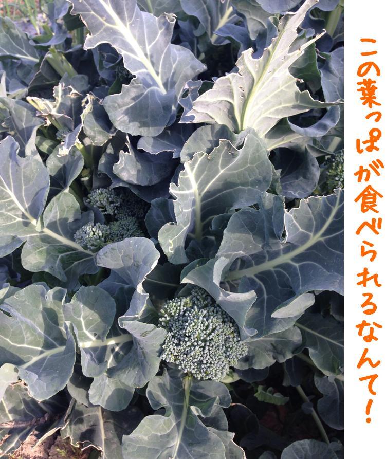 burokkokori_happa.jpg